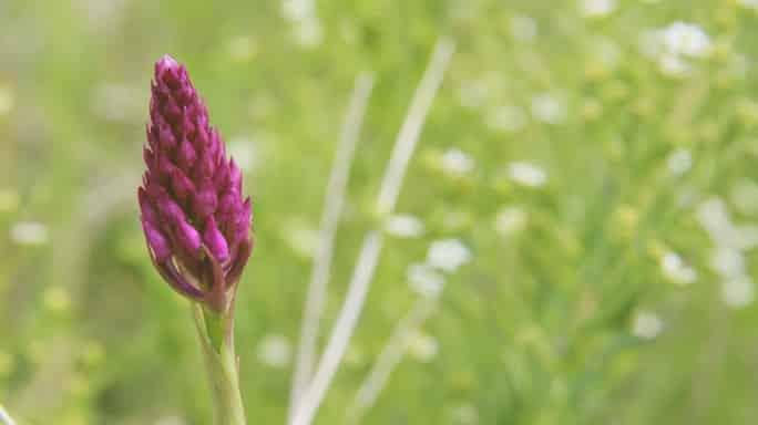 pflanzliches Heilmittel gegen Tumoren
