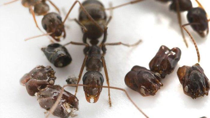 biljni mravi
