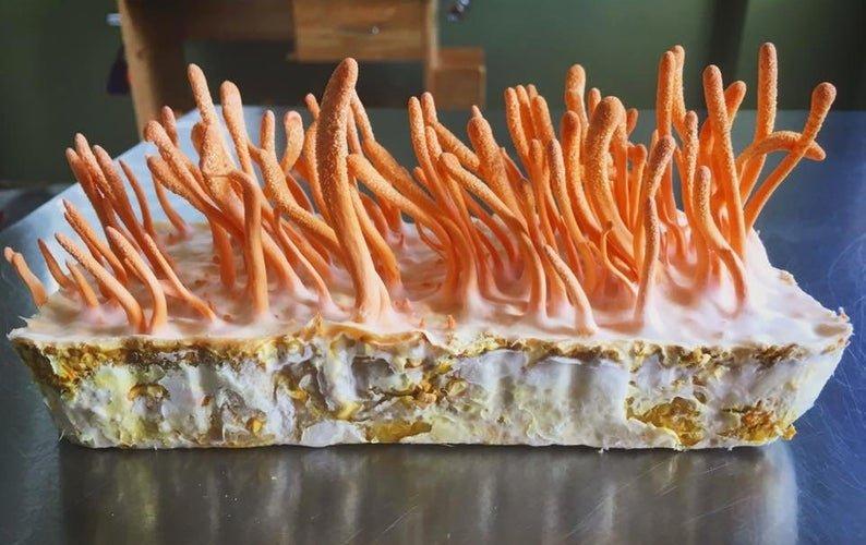 cordyceps medicinal fungus