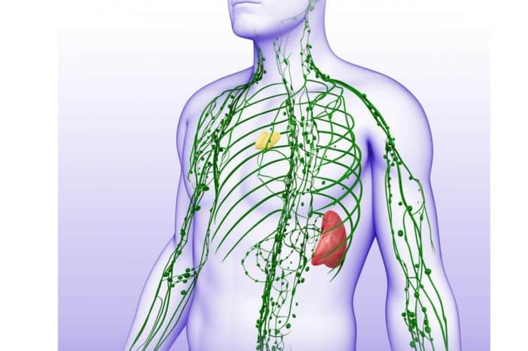 limfni sistem slika