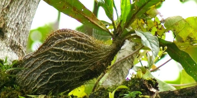 sarang semut mravlja biljka drvo