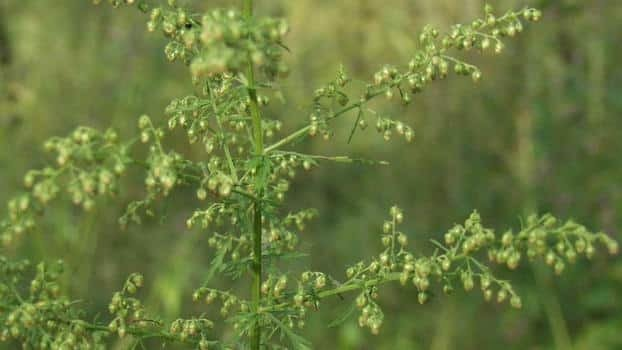 sweet wormwood natural treatment