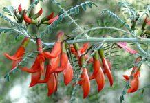 biljka iz afrike