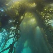 kelp algae and thyroid