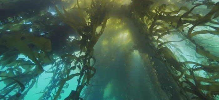 kelp alga i štitna žlezda