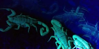 vidatox kapi plavi skorpion