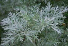 beli pelin biljka