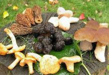 jestive gljive slika