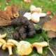 edible mushrooms pictures