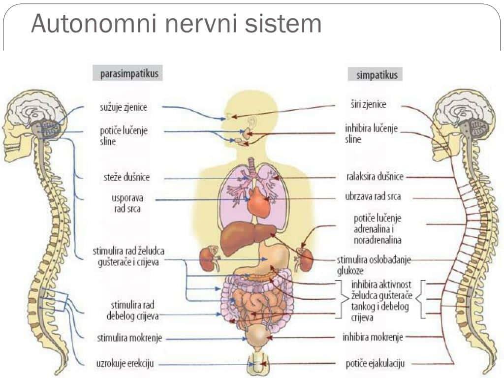 autonomni nervni sistem
