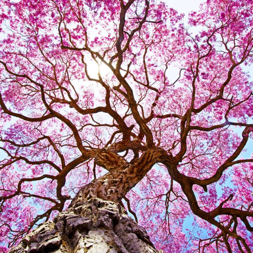 taheebo drvo slika
