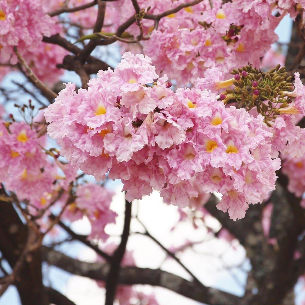teheebo drvo cvetovi