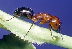 vatreni mrav