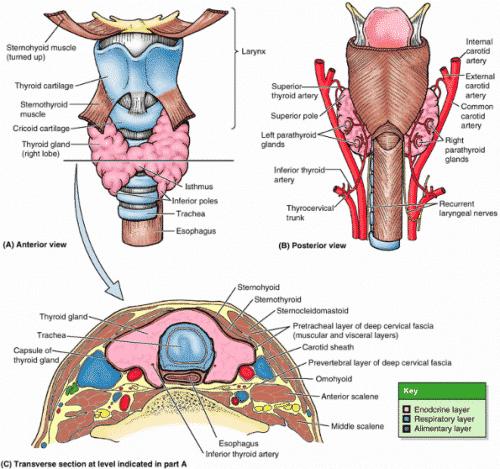 arterije tiroidne žlezde