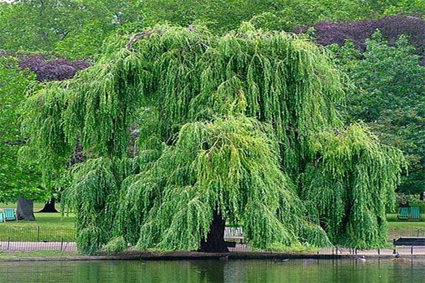 willow shoots
