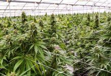 uzgajanje kanabisa u medicinske svrhe
