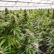 growing cannabis for medical purposes